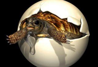 Dev Kaplumbağaya Ait Bir Yumurta Bulundu